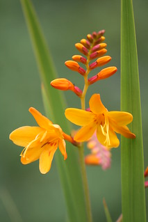 Crocosmia - Columbus