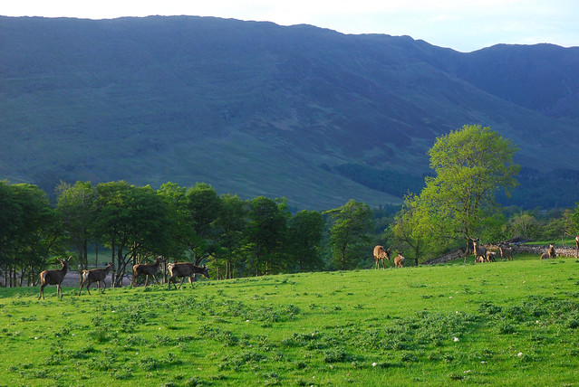 Deer at Applecross