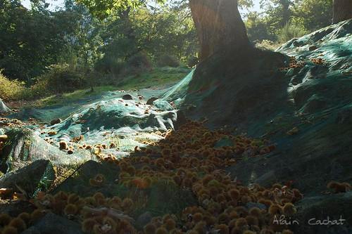 france tree net fruit nikon chestnut filet marron arbre ardèche sweetchestnut crau rhônealpes bogue vivarais d80 châtaignier châtaigne saintetiennedeserre