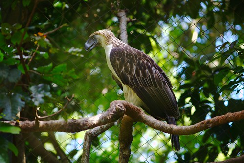 Philippine Eagle at the eagle center