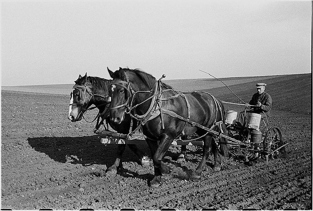 Man planting corn with a team of horses in 1940