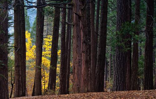 pines yosemite redwood yosemitenationalpark bigleafmaple seeingtheforestforthetree