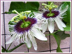 Flowering Passiflora edulis with twin beauties in our garden, Oct 23, 2011