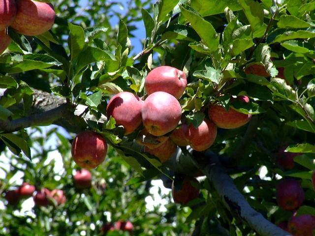 Apples Malus domestica Rosaceae 2011_09_18_Kinnaur_0306