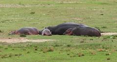 Hippopotamus (Идиллия)