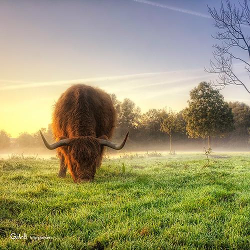 zaandam schotsehooglanders singlerawhdr hetvijfhoekpark gdebfotografeert mygearandme oktober2011