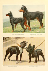 dog breed, animal, dog, manchester terrier, dobermann, pet, mammal, guard dog, pinscher, terrier,