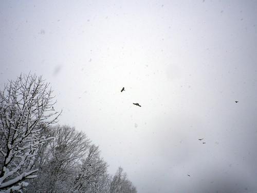 吹雪の中のトンビ