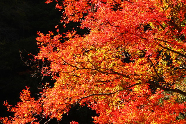 Maple Blaze