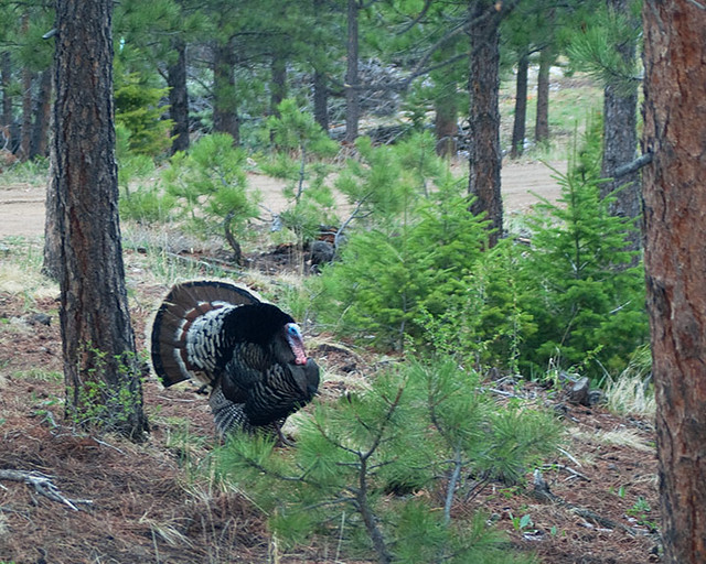 A male turkey with plummage flared walking in a Colorado pine forest.