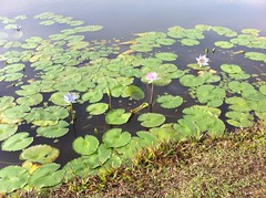 Wetlands - Water Lilies