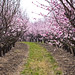 Peach blossom path