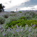 <p>Purple Lupines frame the Golden Gate Bridge, with remaining storm clouds, end of March. To the left, the remaining cypress trees almost hide the airplane hangars at the western end of Crissy Field. While the southern tower of the bridge is clearly visible, the North tower hides just in front of the dark hills of the Marin Headlands.</p>