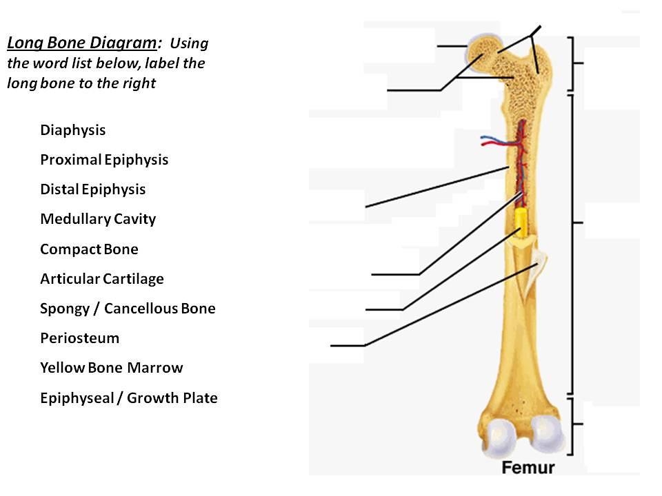 Unit 3 Part 1 Long Bone Diagram