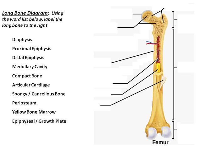 long bone diagram flickr photo sharing. Black Bedroom Furniture Sets. Home Design Ideas