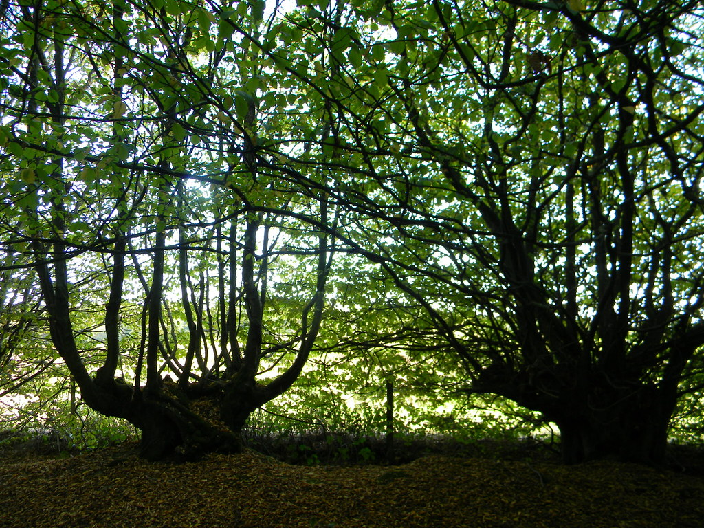 Hornbeam Ham Street to Appledore Woods near the vineyard