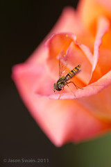 Patient Photographer 1 Hoverfly 0