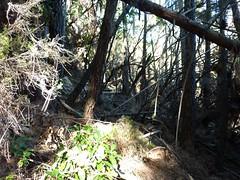 Sentier Capeddu-Sari : les obstacles de branches dans la descente de Bocca di Renosu vers Alzeta Longa