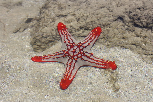 Red-knobbed star