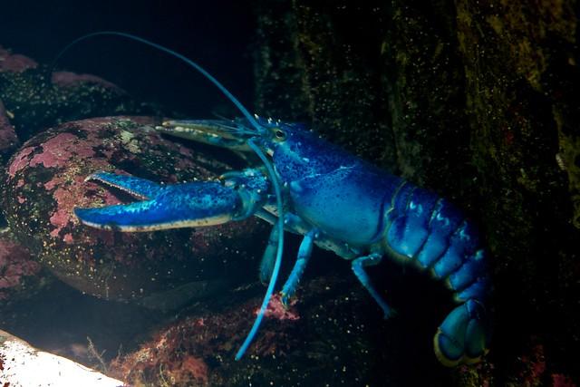 Blue Lobster, Boston Aquarium   Flickr   Photo Sharing!