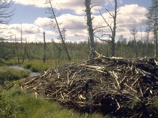 Observation du castor (Bic, Québec, Canada)