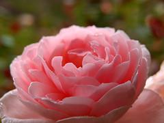 Rose Chaucer バラ チョーサー