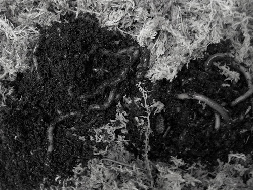 are worms really good for my strawberry bed? | Home Grown Farming  com