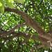 Cacalosúchil del atrio de San Vicente Ferrer, Juchitán-s por fernandodelatorre46