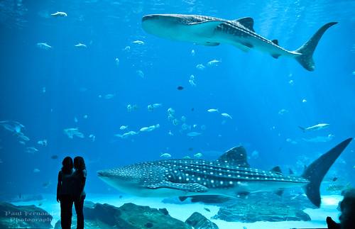 atlanta georgia aquarium georgiaaquarium whaleshark mantaray oceanvoyager sharkwhale