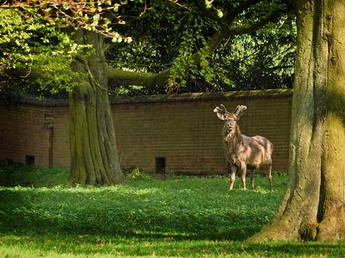 Deer in Woburn Park