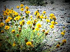 amarillo silvestre