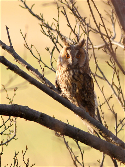 Eyrugla / Long-eyred Owl / Asio otus
