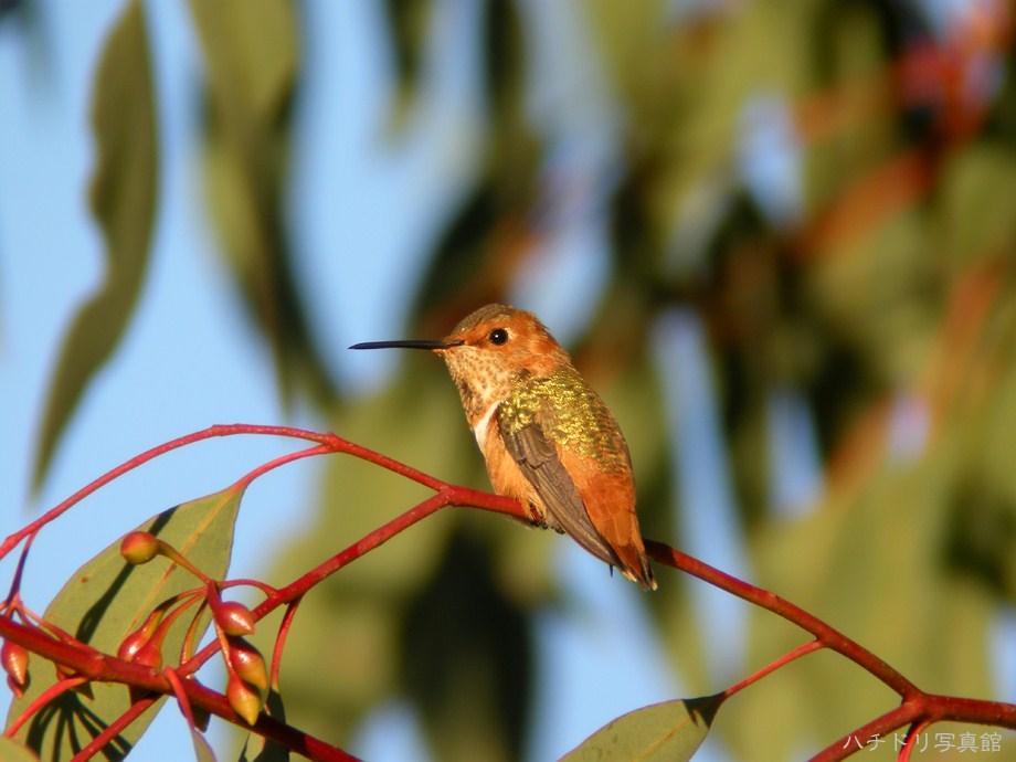 Allen's Hummingbird 112611-5