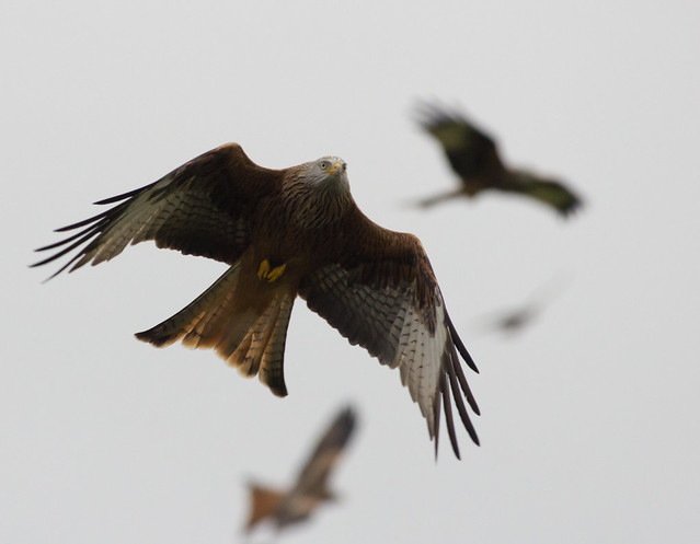 Red kites 3 ISO 3200_