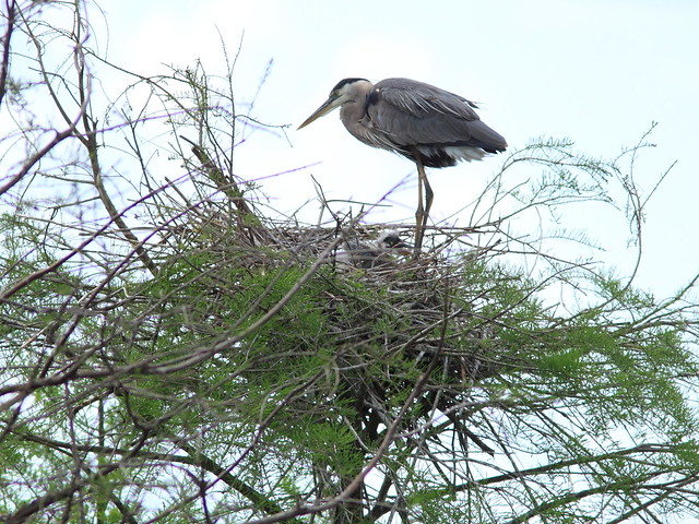 Great Blue Heron with chick 20120318