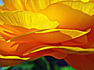 die Schichten meiner Ranunkel ~ the layers of my buttercup