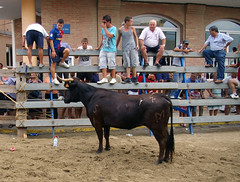 rodeo(0.0), western riding(0.0), equestrian sport(0.0), barrel racing(0.0), animal sports(1.0), cattle-like mammal(1.0), bull(1.0), event(1.0), tradition(1.0), sports(1.0), fair(1.0), traditional sport(1.0),
