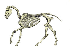 velociraptor, skeleton, dinosaur, illustration,