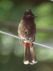 Red-vented Bulbul, Oahu, HI