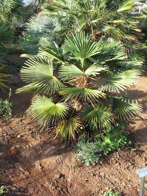 trachycarpus fortunei 39 wagnerianus 39 flickr photo sharing. Black Bedroom Furniture Sets. Home Design Ideas