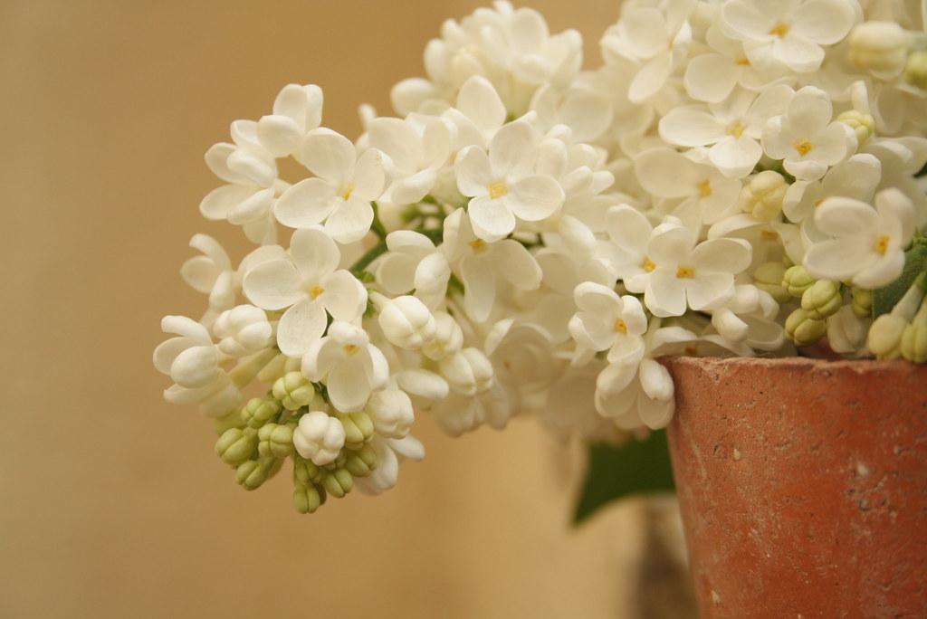 Lilas blancas
