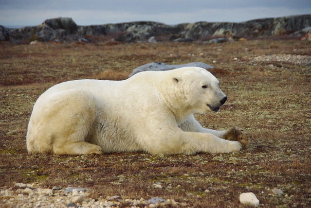 Polar Bear Lying down by CC user apothecary on Flickr