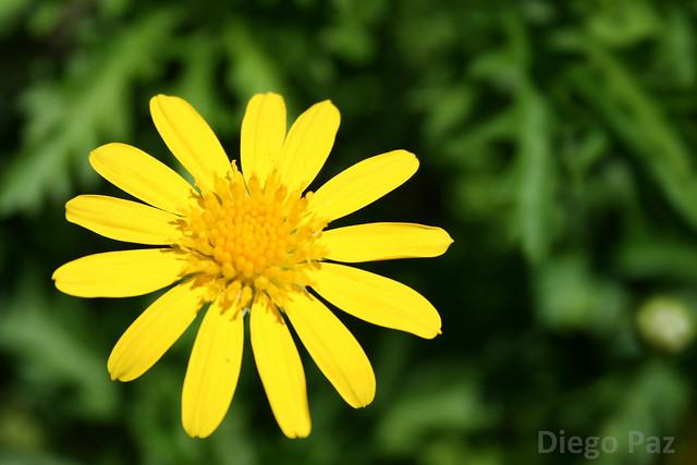 flor,flower