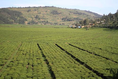 africa plants tea rwanda plantation fields adamcohn wwwadamcohncom rwandantea