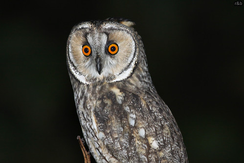 Bufo-pequeno (Asio otus)