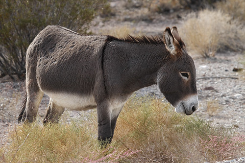 Male Wild Burro (Equus assinus)....3 of 3 in set