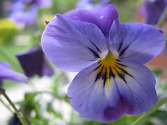 Viola genus