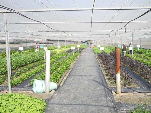 位於西螺的原生蔬菜園圃。