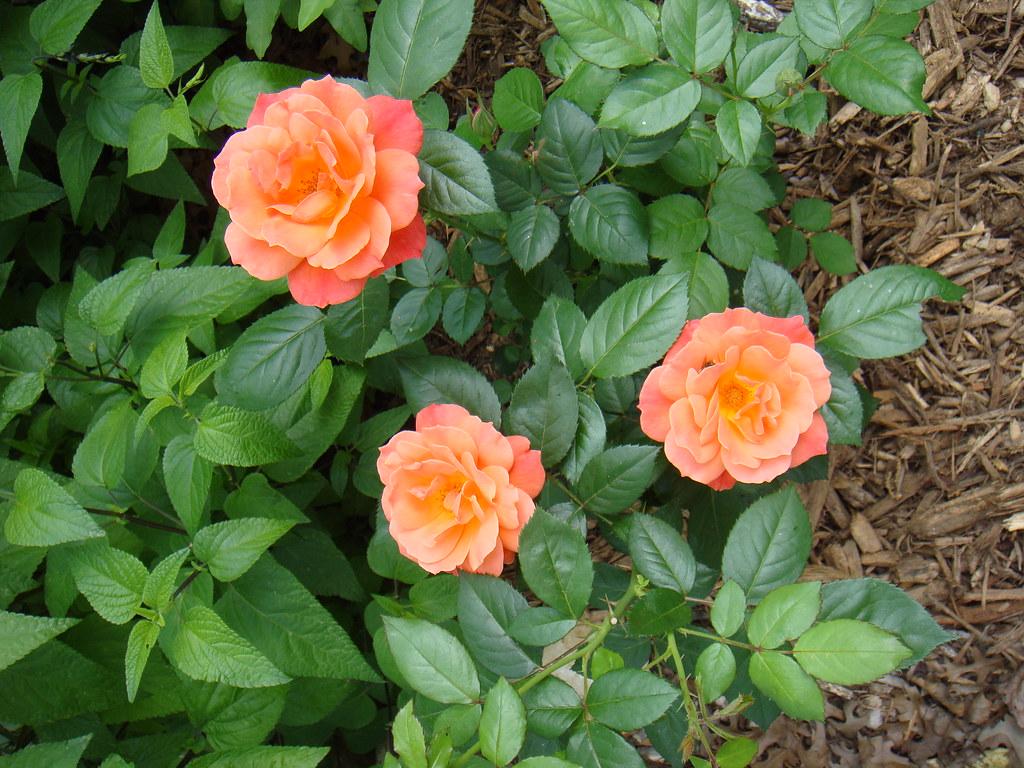 Easy Bloomin' roses