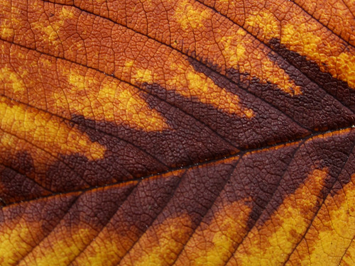 Old Brown Leaf Texture